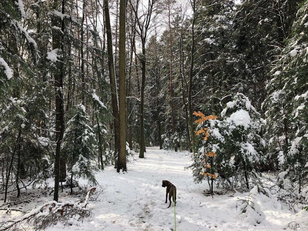 Boxer-Welpe in Schneelandschaft