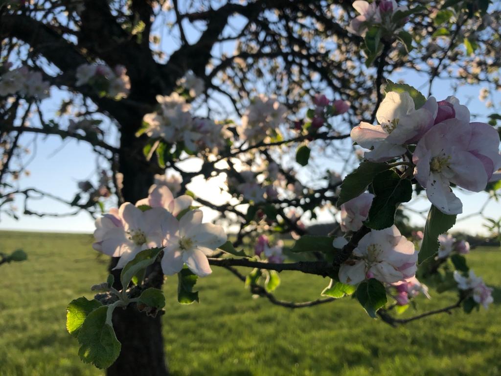 Apfelblüten in der Sonne