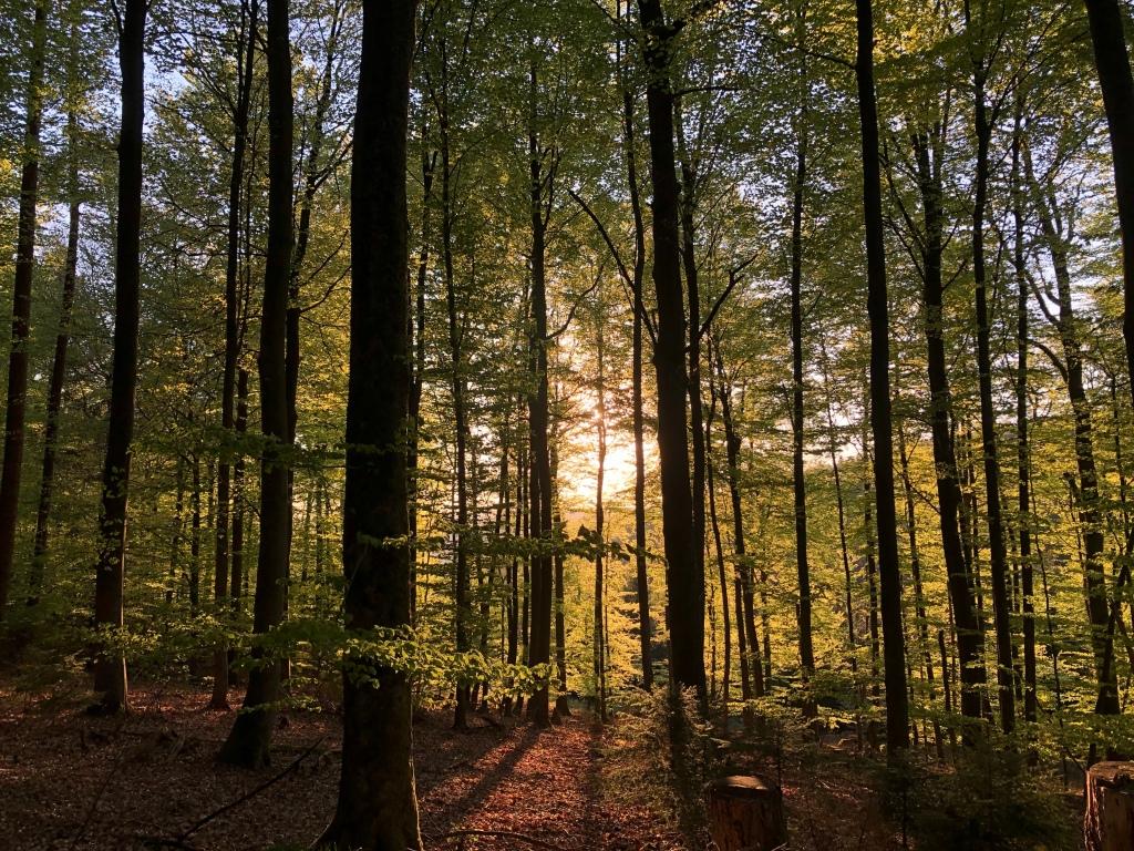 Wald mit einstrahlender Sonne